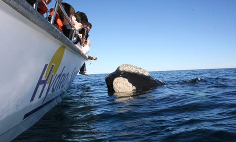 Southern-right-whale (1)