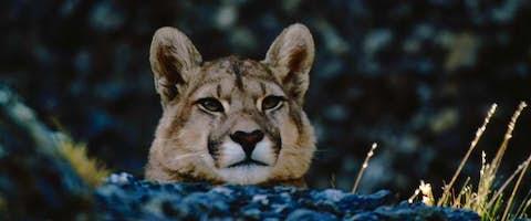 Puma, Patagonia, Chile