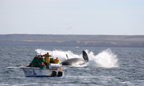 Valdes Southern right whale