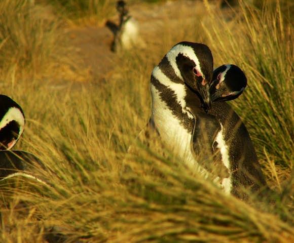 Valdes penguins