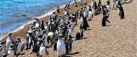 Magellanic penguins on Peninsula Valdes, Patagonia, Argentina