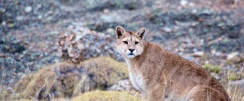 Puma Tracking in Patagonia