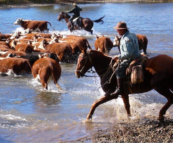 Huechahue cows