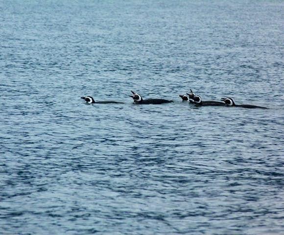 SWO_3_SALLY_ALL_Raul Marin Balmaceda penguins