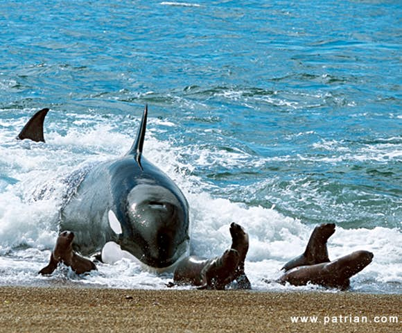 Whales and sea lions meet in Valdés, Argentina